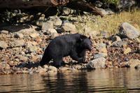 350. Bear-Watching in Tofino