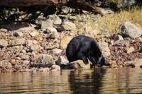 353. Bear-Watching in Tofino