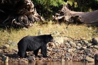 359. Bear-Watching in Tofino