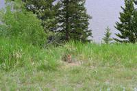 Banff National Park - Murmeltier
