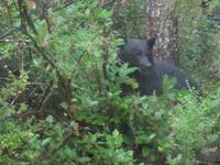 Und wieder sitzt ein Schwarzbär im Gebüsch am Straßenrand