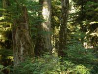 Cathedral Grove -