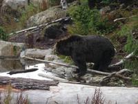 Coola lebt auf Grouse Mt.