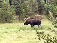 Papa Moose ist nicht weit