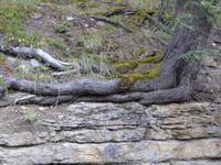 Richtungsänderung des Baumes am Fels