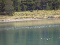 0052 Elch am Maligne Lake