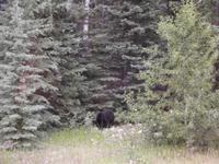 Schwarzbär am Straßenrand