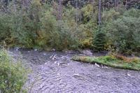 Bärenbeobachtung am Fish Creek - Das Buffet ist angerichtet