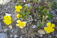 Alpenflora am Rothorn (Alpenmohn)