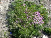 Das Moos blüht violett