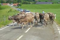 Der Viehauftrieb beginnt