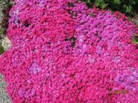 Blumenduft auf der Schatzalp