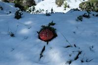 Ein Fliegenpilz im Schnee