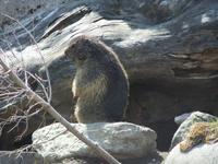 Murmeltier auf dem Grimselpass