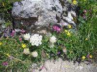 Flora am Oeschinensee