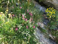 Ausflug auf den First - Cliff-Walk - Bergblumenpracht