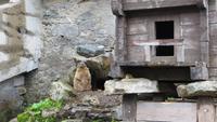 0461 Murmeltier am Grimselpass