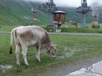 Auch die Kühe würden gern Seilbahn fahren