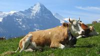 Auf dem First Blick zur Eigernordwand mit Kuh
