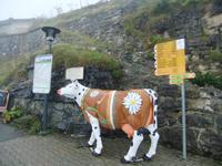 Auf Schynigge Platte empfängt uns diese Kuh