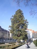 Mammutbaum in Chur