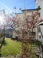 169 Silvester im Berner Oberland - Ortsrundgang in Interlaken - Blühende Sträucher am Neujahrstag