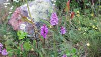 168 Wilde Orchidee - gefleckter Fingerwurz