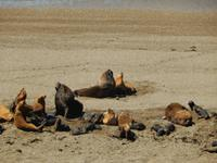 Seelöwen - Halbinsel Valdes - Argentinien - Kreuzfahrt Südamerika – Umrundung Kap Hoorn