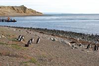Magellan-Pinguine auf der Insel Magdalena