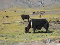Yaks am Kharola Pass