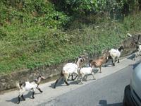 Ziegen am Straßenrand