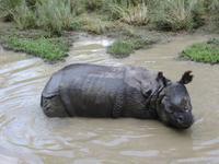 1576  Chitwan-Nationalpark - Elefanten-Safari - Panzernashorn