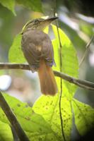 Vögel Costa Ricas