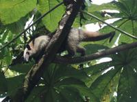 17 Tage Rundreise Costa Rica – einzigartige Naturreise San José – Vulkane Poas & Arenal – Braulio Carrillo NP – Cahuita NP – Tortuguero NP – Monteverde – Santa Elena – Carara NP – Marino Ballen (261)