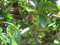 Lanzenotter im Cahuita Nationalpark