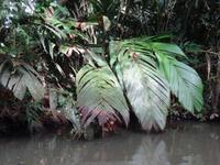 Vegetation in Tortuguero