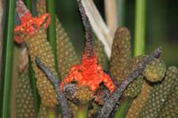 008 Costa Rica - Blüte