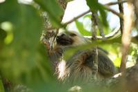 012 Costa Rica - Cahuita NP Faultier