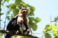 017 Costa Rica - Cahuita NP Kapuzineraffe