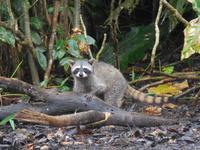 034 Costa Rica - Tortuguero - Waschbär