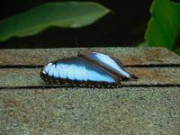 045 Costa Rica - Tortuguero - Schmetterling