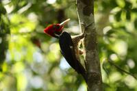 097 Costa Rica - Specht