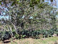 Kaffeeplantage in Guanayara
