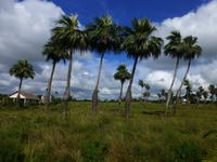 Faszination Kuba: Zigarren, Rum, karibisches Flair - Rundreise - Palmen
