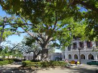 Ceiba auf dem Platz José Marti in Cienfuegos