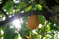Baracoa_Wanderung_Kakao