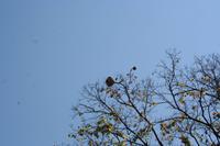 Im Botanischen Garten bei Cienfuegos - Paranussbaum
