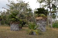 Copernicia -Palmen im Botanischen Garten Cienfuegos