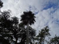 Wie ein Scherenschnitt wirkt diese Palme im Botanischen Garten Cienfuegos
