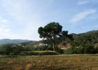 goldene Eiche - Nationalbaum von Zypern